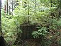 Grouse-Mt-tree-stump-3658.jpg