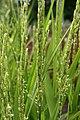 Growing Rice - Jardin botanique de Montréal - Québec, Canada.jpg