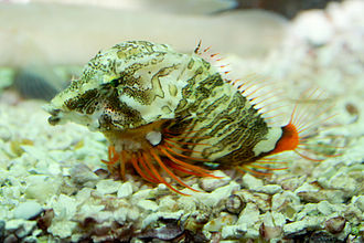 Grunt sculpin - Image: Grunt sculpin or grunt fish, Rhamphocottus richardsonii