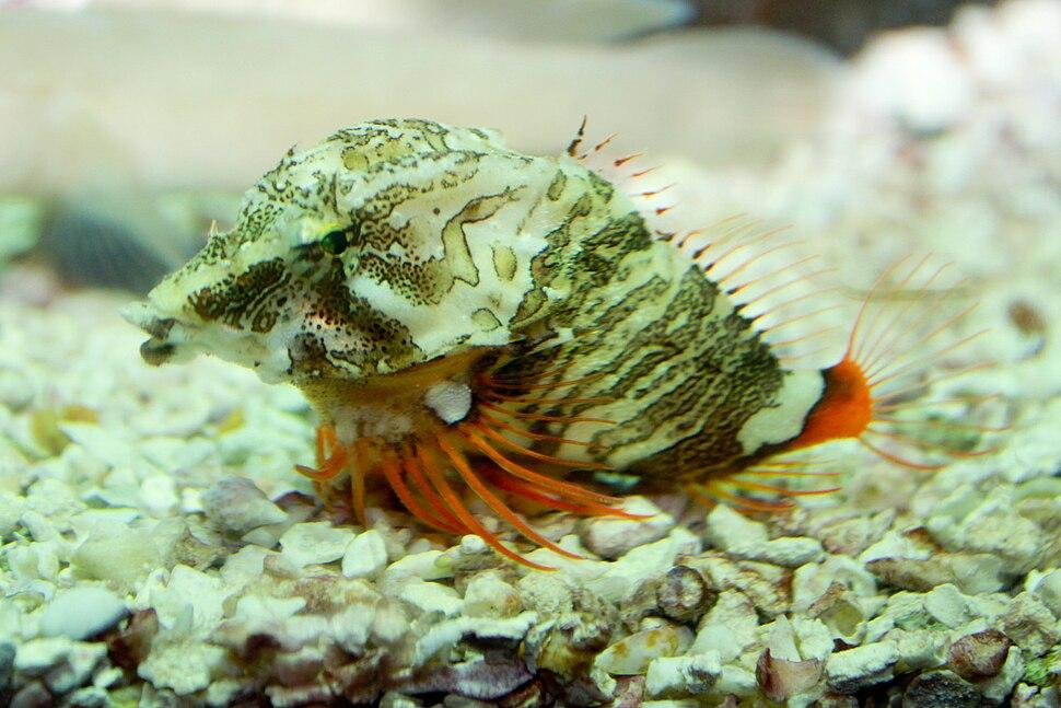 Grunt sculpin or grunt-fish, Rhamphocottus richardsonii