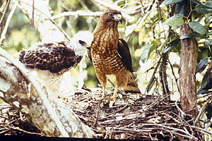 Toro Negro State Forest - Puerto Rican broad-winged hawks (Buteo platypterus brunnescens) like this one are part of Toro Negro's fauna