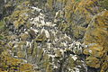 Guillemots on Skomer (7811).jpg