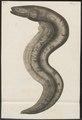 Gymnotus electricus - - Print - Iconographia Zoologica - Special Collections University of Amsterdam - UBA01 IZ15100123.tif