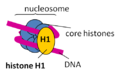 H1 binding to the nucleosome.png