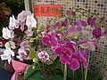 HK Sheung Wan Flower Orchidaceae 4 Mother's Day Mosaics.JPG