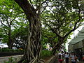 HK TST Nathan Road green Sidewalk Chinese Banyan trees Aug-2015 DSC (11).JPG