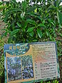HK Wong Tai Sin 摩士公園 Morse Park No3 黃葛樹 Ficus virens tree intro sign May-2013.JPG