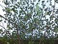HK tree leaves sky Nov-2013.JPG