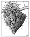 HYME Vespidae Vespula germanica nest.png
