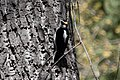 Hairy Woodpecker V&R SW Research Station Portal AZ 2019-04-14 13-24-44 (33931170418).jpg