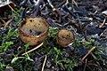 Halbkugeliger Borstling Humaria hemisphaerica.jpg
