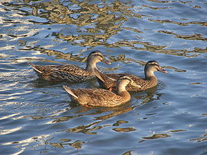 Halifax River - Image: Halifax River Ducks 2DAB