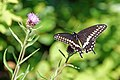 Halifax DSC08392 - Black Swallowtail (36162253362).jpg