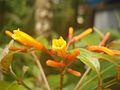 Hamelia patens flower 1.JPG