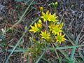 Haplophyllum linifolium habitus DehesaBoyalPuertollano.jpg