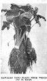 Hawaiian Taro Plant.png