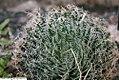 Haworthia arachnoidea 2zz.jpg