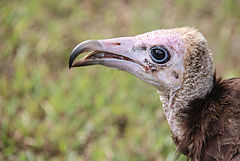 Head of a vulture in the Gambia.jpg