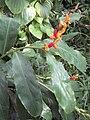 Hedychium horsfieldii 01.jpg