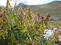 Hedysarum occidentale (28915807050).jpg