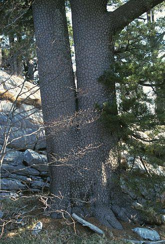 Pinus heldreichii - Pinus heldreichii on Orjen