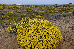Helichrysum stoechas830.jpg