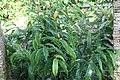 Heliconia aurantiaca 5zz.jpg