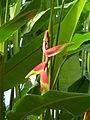Heliconia rostrata P1170566.JPG