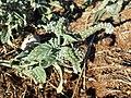 Heliotropium europaeum sl7.jpg
