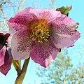 Helleborus x Hybridus, pink Lenten Rose - geograph.org.uk - 1754570.jpg