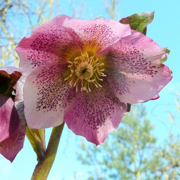 File:Helleborus x Hybridus, pink Lenten Rose - geograph.org.uk - 1754570.jpg