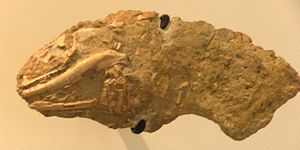Anguidae - Helodermoides tuberculatus fossil