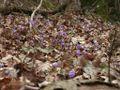 Hepatica nobilis 150303.jpg