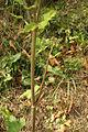 Heracleum sphondylium ssp. sphondylium PID1499-2.jpg