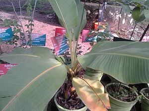 Konni, India - A herbal Banana Plantain grown in Konni Elephant Cage