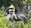 Herons a courting - Flickr - Lip Kee.jpg