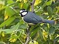 Herrerillo común (Parus caeruleus teneriffae).jpg