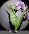 Hesperis matronalis subsp. matronalis sl7.jpg