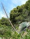 Hesperoyucca whipplei ssp parishii 1