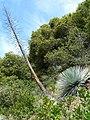 Hesperoyucca whipplei ssp parishii 1.jpg