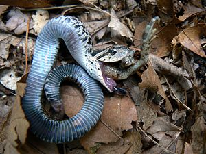Apparent death - Eastern hog-nosed snake playing dead and regurgitating a toad