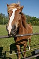 Hevoset kesälaitumella 2.jpg