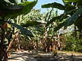 Hf9906Banana plantations Philippinesfvf 11.JPG