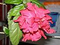 Hibiscus (Rosa sinensis).JPG