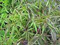 Hibiscus coccineus - Flickr - peganum (1).jpg