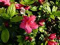 Hibiscus dans le jardin Albert Kahn.JPG