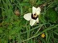 Hibiscus trionum agg. (AM AK299054-2).jpg