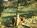 Highlandcow Loch Venachar - panoramio.jpg