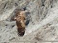 Himalayan Griffon (Gyps himalayensis) (32233964675).jpg