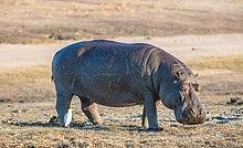 Hipopótamo (Hippopotamus amphibius), parque nacional de Chobe, Botsuana, 2018-07-28, DD 82.jpg